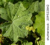Small photo of water droplets sparkle in the morning sun on leaves of Alchemilla Mollis plants