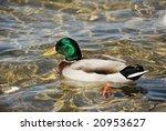 wild duck | Shutterstock . vector #20953627