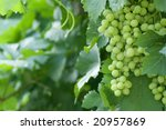green vine with blurred... | Shutterstock . vector #20957869
