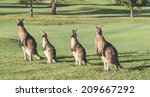 Kangaroos Feeding  Australia