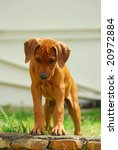 A Cute Little Rhodesian...