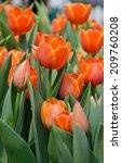Beautiful Orange Tulip Blossom...