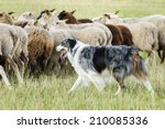 Purebred Border Collie Herding...