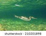 Cormorant Bird Swimming...