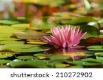 Pink Water Lily Grow In The...