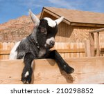 Cute Baby Goat Looking Over A...