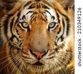 Bengal Tiger Face Full Frame