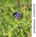 Small photo of Daytime-flying Six-spot Burnet Moth feeding on Round-headed Rampion
