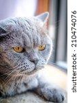 Portrait of laying british cat - stock photo