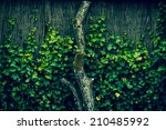 fresh green ivy climbing an old ... | Shutterstock . vector #210485992