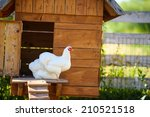 Chickens In The Coop