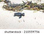 baby turtle   Shutterstock . vector #210559756