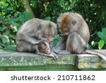 Small photo of Balinese monkey family in Alas Kedaton sacred monkey forest, Bali