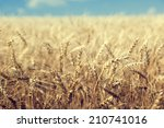 wheat field and sunny day | Shutterstock . vector #210741016