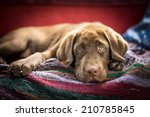 Stock photo chocolate labrador retriever 210785845