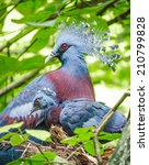 Victoria Crowned Pigeon With...