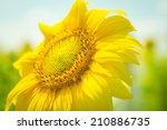 Sunflower Flower On Green...