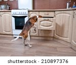 the dog in kitchen searches for ... | Shutterstock . vector #210897376
