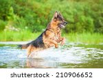 German Shepherd Dog Jumping In...