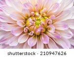 close up pink dahlia in bloom