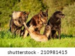 Stock photo three dogs and one aggressive cat 210981415