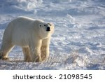 male polar bear sniffing the... | Shutterstock . vector #21098545