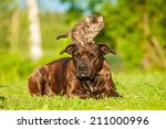 Stock photo little tabby kitten standing on the head of american staffordshire terrier 211000996