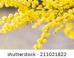 Australian Golden Wattle Flower