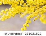Australian Golden Wattle Flower