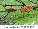 sitatunga deer in the forest... | Shutterstock . vector #211225156