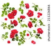 Stock photo beautiful red rose flowers collection isolated on white background fresh climbing roses with water 211226866