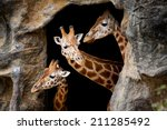 Three Giraffes Looking Out Of ...