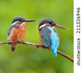 Small photo of Couple of Common Kingfisher is perching on a branch.(Alcedo atthis)