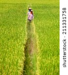 Rice Sprout Ready To Growing I...