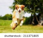 Stock photo purebred brown and white nova scotia duck tolling retriever 211371805