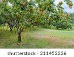 Persimmon Garden In Thailand.