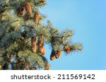 Echinate Fir Tree Brunches Wit...