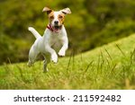 Stock photo jack russel parson dog run toward the camera low angle high speed shot 211592482