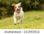 Stock photo jack russel parson dog run toward the camera low angle high speed shot 211592512