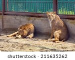 Lion And Lioness In A Cage At...