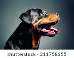 Portrait Of A Dog   Rottweiler