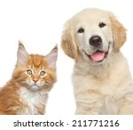 Stock photo cat and dog close up portrait of golden retriever puppy and maine coon kitten 211771216
