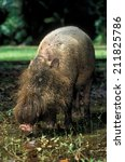 This Bearded Pig Is Found On...