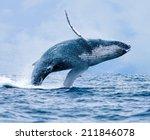 Humpback Whale  Megaptera...