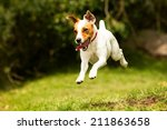 Stock photo jack russel parson dog run toward the camera low angle high speed shot 211863658