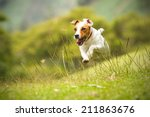Stock photo jack russell parson terrier running toward the camera low angle high speed shot 211863676