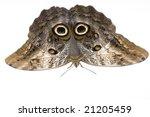 Owl Butterfly   Caligo Memnon...