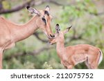 Impala Doe Caress Her New Born...