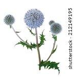 Medicinal Plant  Echinops