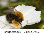 a honey bee on a white flower.